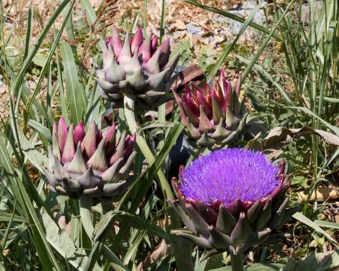 Italiassa artisokka kasvaa myös villinä. Tämä kuva otettu juhannuksen aikoihin, jolloin tuo suomuinen pallo avaa lehtensä ja sisältä paljastuu upea violetti kukinto.